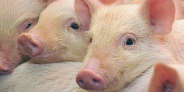 З 5 травня на на Надвірнянщині буде знято карантин по африканській чумі свиней