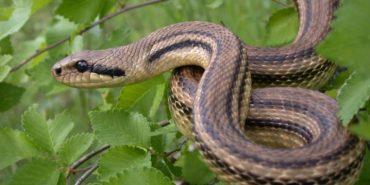 На Верховинщині чоловік потрапив до лікарні через укус змії