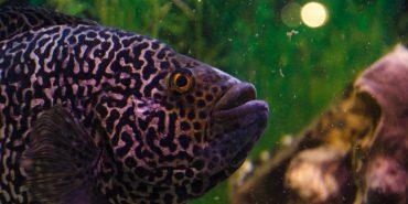 Риби-піраньї, сом-кішка, астронотус, цитрон, аравана та інші: у Коломиї завершилася виставка риб. ФОТОРЕПОРТАЖ