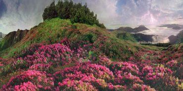 Неймовірна краса: як цвіте Червона рута у Карпатах. ФОТО