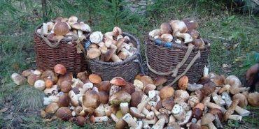 Білі гриби мішками: як на Прикарпатті заробляють на щедрому урожаї грибів