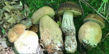 На Прикарпатті відкрили грибний сезон. ФОТО