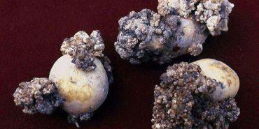 На Прикарпатті у двох районах виявили небезпечних шкідників і рак картоплі