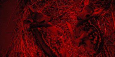 До Центру реабілітації диких тварин на Прикарпатті привезли дитинчат косулі