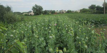 На Коломийщині знову виявили насадження заборонених рослин