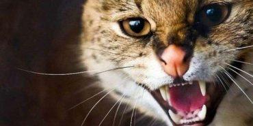 У прикарпатському селі хворий на сказ кіт вкусив жінку і помер