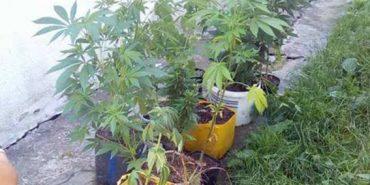 30-річний прикарпатець вирощував коноплю у квіткових горщиках. ФОТО