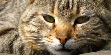 Створено сайт, де безперервно можна слухати муркотіння кота