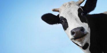 На Коломийщині екскаватором витягали корову з криниці