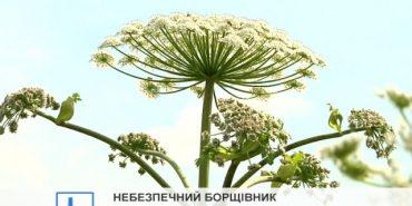 Прикарпатців попереджають про отруйну рослину, контакт з якою може мати летальні наслідки. ВІДЕО