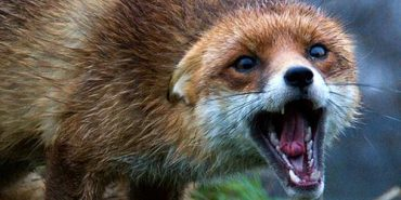 Три села на Калущині на карантині через сказ лисиць