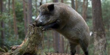 Сьогодні на Івано-Франківщині розпочнеться плановий відстріл диких кабанів