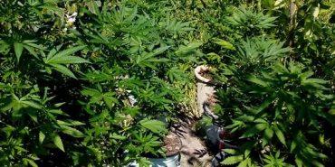 На Коломийщині селянка вирощувала на земельній ділянці коноплю. ФОТО