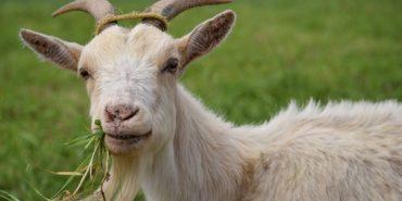 У Коломиї зловмисник викрав козу-годувальницю у малозабезпеченої та багатодітної сім`ї