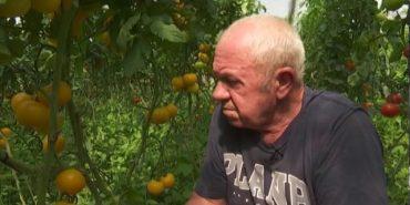 На Франківщині колишній електрозварювальник створив справжній помідоровий рай. ВІДЕО