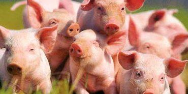 На Франківщині перекинулася фура зі свиньми. ФОТОФАКТ