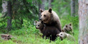 До реабілітаційного центру на Прикарпатті переселять 4 бурих ведмедів, занесених до Червоної книги