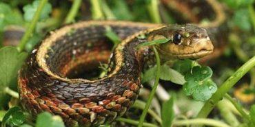 На Прикарпатті – нова жертва нападу змії
