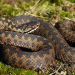 змія5