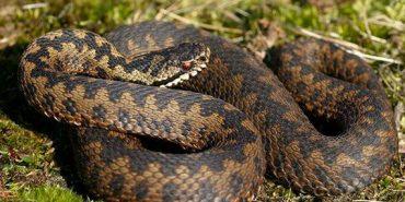 На Прикарпатті змії нападають на дітей. ВІДЕО