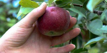 """Троє прикарпатців """"попались"""" на крадіжці яблук"""
