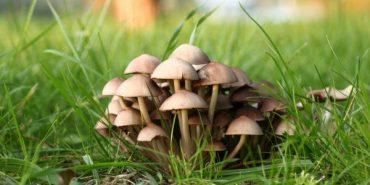 Троє прикарпатців потрапили до реанімації через отруєння грибами