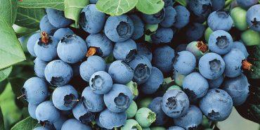Як заробити мільйон за сезон: на Прикарпатті вирощують найдорожчу ягоду. ВІДЕО