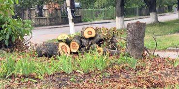 Коломияни скаржаться на комунальників через аварійні дерева. ВІДЕО