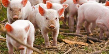 У Коломиї радились, як не допустити поширення африканської чуми свиней. ВІДЕО