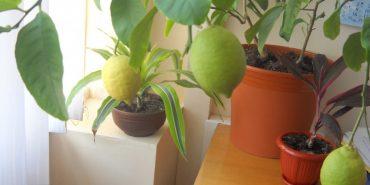 Прикарпатка вирощує на робочому місці ананаси, банани, авокадо, а на дачі – ківі. ФОТО