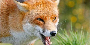 На Коломийщині скажена лисиця покусала свійських тварин