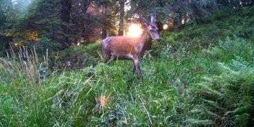 На Верховинщині побільшало оленів