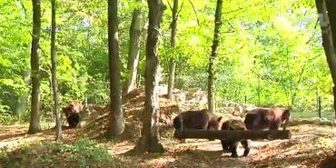 До реабілітаційного центру на Прикарпатті привезли родину ведмедів, занесених до Червоної книги