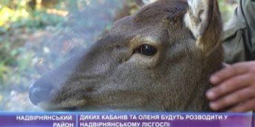 На Франківщині будуть розводити диких кабанів та оленів. ВІДЕО