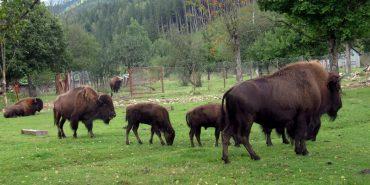 На Франківщині розводять зубрів на фермі. ФОТО