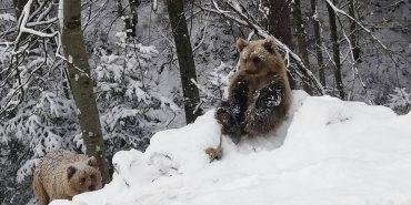 Як ведмеді у Карпатах радіють першому снігу. ФОТО