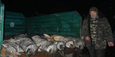 Захист чи жорстокість? Користувачів соцмереж обурило вбивство шести вовків у Карпатах
