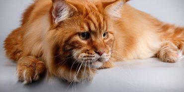 Рудий Кекс завдовжки понад метр став найбільшим котом в Україні