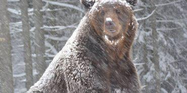 У Карпатах мешкає 25 бурих ведмедів, яких було врятовано з жахливих умов. ФОТО