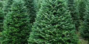 До новорічних свят на Прикарпатті зріжуть понад 30 тис. ялинок