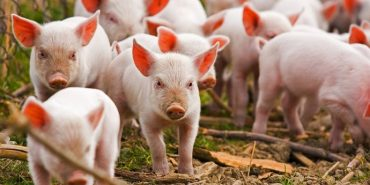 На Франківщині рятувальники витягали з кювету вантажівку зі свиньми