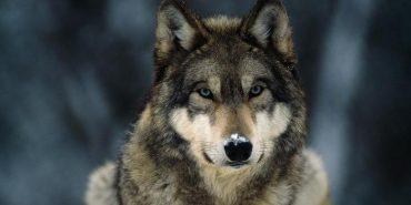 На Коломийщині розгулює зграя вовків