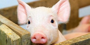 На Прикарпатті господарі досі очікують відшкодування за знищених свиней через чуму