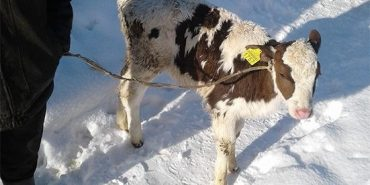 На Прикарпатті злодій викрав теля з фермерського господарства