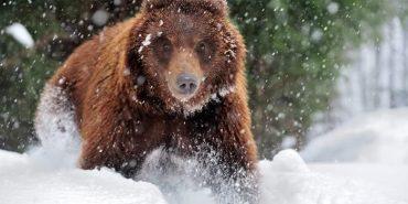 У Карпатах лижники три доби ховалися від ведмедя. ВІДЕО