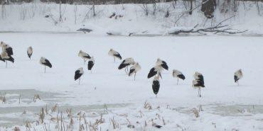 Справа бузьків: на Коломийщині триває порятунок птахів. ФОТО+ВІДЕО