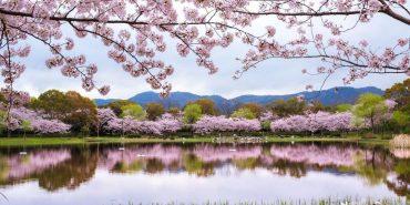 У Японії розцвіли сакури: дивовижні фото
