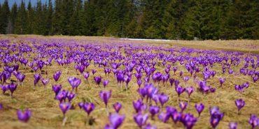 У Карпатах розквітли рідкісні крокуси