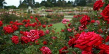 У Калуші посадять майже чотири тисячі кущів троянд