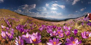 Дива природи: у Карпатах зацвіли крокуси. ФОТО